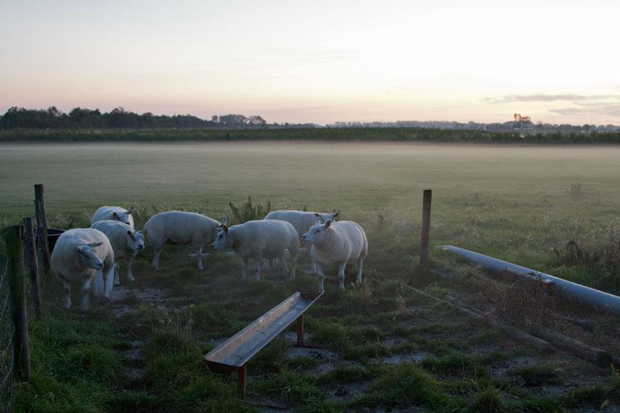 Eine kleine Herde Schafe steht in der Abenddämmerung auf einer Wiese in Seeland / Holland