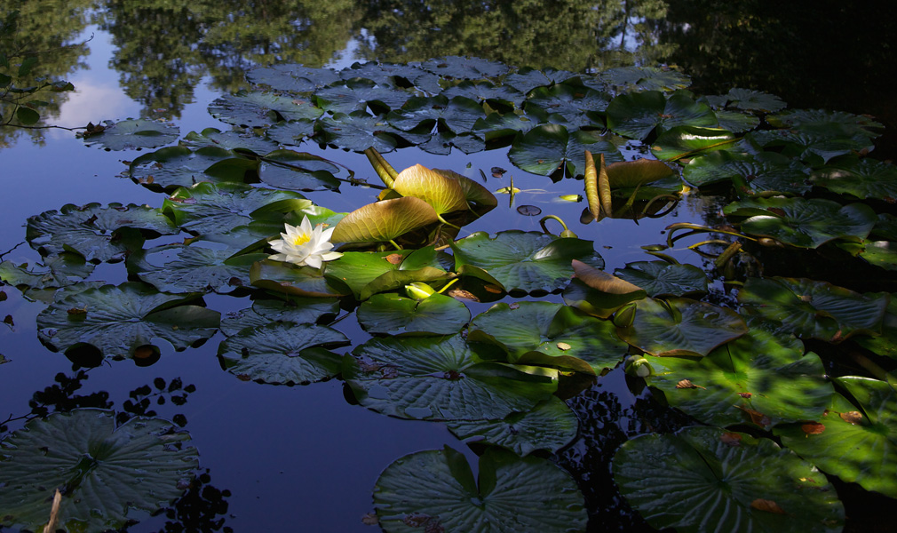 A single water lily in sunlight